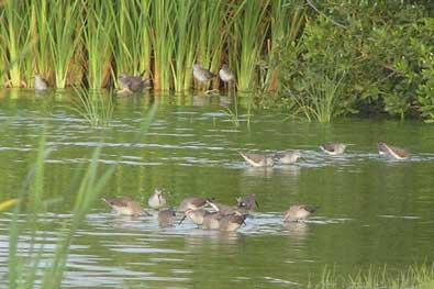 Ducks in the Bubali Sanctuary Aruba