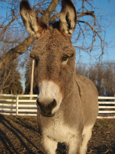 One of the Donkeys at the Donkey Sanctuary